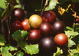 Scuppernong Grape